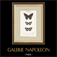 Papillons d'Europe - Grand Sylvain - Lucille