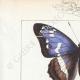 DETALLES 01 | Mariposas Europeas - Grand Mars - Petit Mars