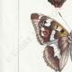 DETALLES 02 | Mariposas Europeas - Grand Mars - Petit Mars