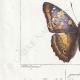 DETTAGLI 03 | Farfalle dall'Europa - Grand Mars - Petit Mars