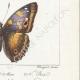 DETTAGLI 06 | Farfalle dall'Europa - Grand Mars - Petit Mars