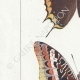 DETTAGLI 02 | Farfalle dall'Europa - Jasius