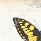 DETTAGLI 01 | Farfalle dall'Europa - Machaon - Alexanor