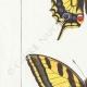 DETTAGLI 02 | Farfalle dall'Europa - Machaon - Alexanor