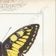 DETTAGLI 04 | Farfalle dall'Europa - Machaon - Alexanor