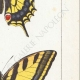 DETTAGLI 05 | Farfalle dall'Europa - Machaon - Alexanor