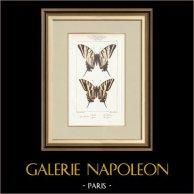 Motyle z Europy - Flambé - Ajax
