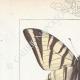 DETAILS 01 | Butterflies of Europe - Flambé - Ajax