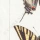 DETAILS 02 | Butterflies of Europe - Flambé - Ajax