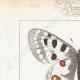 DETAILS 01 | Butterflies of Europe - Apollon - Phoebus - Semi-Apollon