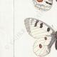 DETAILS 02 | Butterflies of Europe - Apollon - Phoebus - Semi-Apollon