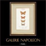 Motyle z Europy - Grande Violette - Petite Violette