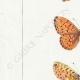 DETAILS 02 | Butterflies of Europe - Grande Violette - Petite Violette