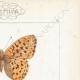 DETAILS 04 | Butterflies of Europe - Grande Violette - Petite Violette