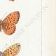 DETAILS 05 | Butterflies of Europe - Grande Violette - Petite Violette