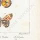 DETAILS 06 | Butterflies of Europe - Grande Violette - Petite Violette