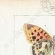 DETTAGLI 01 | Farfalle dall'Europa - Grand Nacré - Petit Nacré
