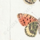 DETTAGLI 02 | Farfalle dall'Europa - Grand Nacré - Petit Nacré