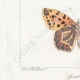 DETTAGLI 03 | Farfalle dall'Europa - Grand Nacré - Petit Nacré