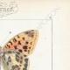 DETTAGLI 04 | Farfalle dall'Europa - Grand Nacré - Petit Nacré