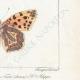 DETTAGLI 06 | Farfalle dall'Europa - Grand Nacré - Petit Nacré