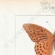 DETAILS 01 | Butterflies of Europe - Tabac d'Espagne - Valaisien - Chiffre