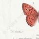 DETAILS 03 | Butterflies of Europe - Tabac d'Espagne - Valaisien - Chiffre