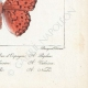 DETAILS 08 | Butterflies of Europe - Tabac d'Espagne - Valaisien - Chiffre