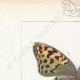 DETTAGLI 01 | Farfalle dall'Europa - Cardinal
