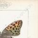 DETTAGLI 04 | Farfalle dall'Europa - Cardinal