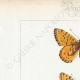DETAILS 01 | Butterflies of Europe - Argynnis