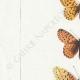 DETAILS 02 | Butterflies of Europe - Argynnis