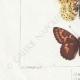 DETAILS 03 | Butterflies of Europe - Argynnis