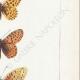 DETAILS 05 | Butterflies of Europe - Argynnis