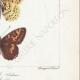 DETAILS 06 | Butterflies of Europe - Argynnis