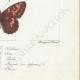 DETAILS 08 | Butterflies of Europe - Argynnis