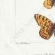 DETAILS 03 | Butterflies of Europe - Melitée
