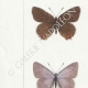 DETAILS 02 | Butterflies of Europe - Polyommate
