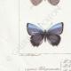 DETAILS 03 | Butterflies of Europe - Polyommate