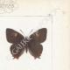 DETAILS 04 | Butterflies of Europe - Polyommate