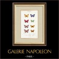Butterflies of Europe - Polyommate Virgaurea