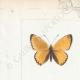 DÉTAILS 01 | Papillons d'Europe - Polyommate Virgaurea
