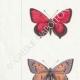 DÉTAILS 02 | Papillons d'Europe - Polyommate Virgaurea