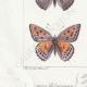 DÉTAILS 03 | Papillons d'Europe - Polyommate Virgaurea