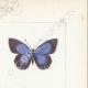 DÉTAILS 04 | Papillons d'Europe - Polyommate Virgaurea