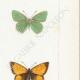 DÉTAILS 05 | Papillons d'Europe - Polyommate Virgaurea