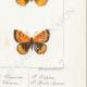 DÉTAILS 06 | Papillons d'Europe - Polyommate Virgaurea