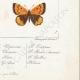 DÉTAILS 08 | Papillons d'Europe - Polyommate Virgaurea