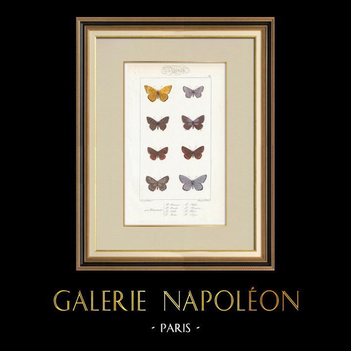 Stampe Antiche & Disegni | Farfalle dall'Europa - Polyommate Thersamon | Stampa calcografica | 1834