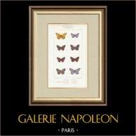 Motyle z Europy - Polyommate Thersamon